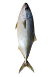 Bluefin tuna isolated. stock photography