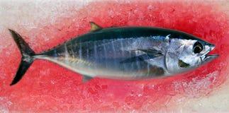 Bluefin tuna Thunnus thynnus saltwater fish Royalty Free Stock Images