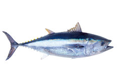 Bluefin tuna Thunnus thynnus saltwater fish Stock Images