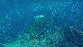 Bluefin zwemt trevally door een zwerm van veranderlijk-gevoerde meer fusilier stock videobeelden