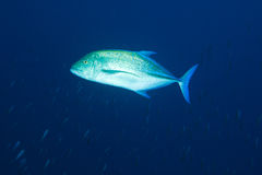 bluefincaranxmaldives melampygus trevally Arkivfoto