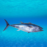 Bluefinthunfisch Thunnus thynnus Unterwasser Lizenzfreies Stockbild