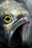 Bluefish Stock Image