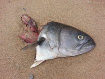 Bluefish in the sand Royalty Free Stock Images