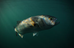 Bluefish is swimming in ocean Stock Photography