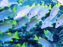 Bluefish swimming by a reef. Underwater view of a school of bluefish with bright green tails swimming near a reef Stock Images