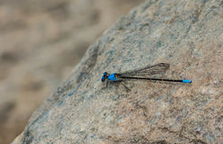 Bluefly Zdjęcia Stock