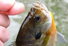 Bluegill Bream. Caught Bluegill Bream Royalty Free Stock Photos