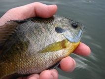 Bluegill Bream Royalty Free Stock Images