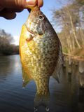 Bluegill Catch in March Royalty Free Stock Image