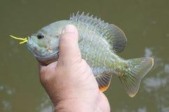 Bluegill caught on popper. Hybrid bluegill caught on popper stock photos