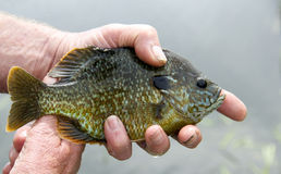 Bluegill close up caught fishing Stock Photo
