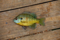 Bluegill. A close up view of a bluegill, Lepomis macrochirus,laying on wood Royalty Free Stock Photos