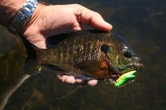 Bluegill do Sunfish travado na atração da pesca de Crankbait imagem de stock