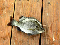 Bluegill fish. Picture of bluegill fish caught during a day of fishing royalty free stock photography