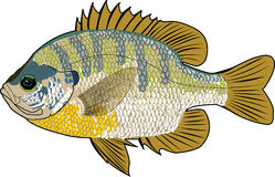 Bluegill fish. Illustration of bluegill fish lepomis macrochirus showing gills, tail and  head. It is a member of the sunfish family Stock Image