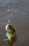Bluegill fishing Royalty Free Stock Image