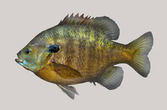 Bluegill fishing portrait Royalty Free Stock Photo