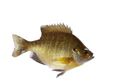 Bluegill isolated, Lepomis Macrochirus Royalty Free Stock Image