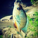 Bluegill on the Neches Royalty Free Stock Image