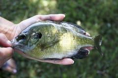 Bluegill ryba zakończenie Obraz Stock