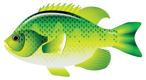 Bluegill sunfish. Bluegill inhabit the rivers of many countries. Vector illustration Stock Photography