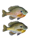 Bluegill Sunfish (Lepomis macrochirus) Stock Photos