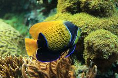 Bluegirdled angelfish royalty free stock images