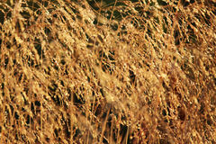Bluegrass meadow Poa pratensis in the golden glow of the setting summer sun. Stock Photography