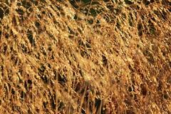 Bluegrasswiese Poa pratensis im goldenen Glühen der Einstellungssommersonne Stockfotografie