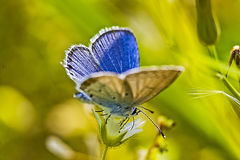 Bluegray butterfly Stock Photo