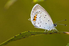 Bluegray butterfly Royalty Free Stock Images