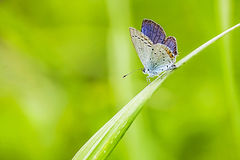 Bluegray butterfly Stock Image