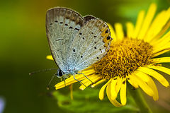 Bluegray butterfly Stock Images