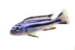 Bluegray mbuna malawi cichlid Melanochromis johannii aquarium fish johanni. Fish Royalty Free Stock Images