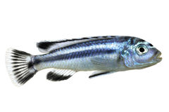 Bluegray mbuna malawi cichlid Melanochromis johannii aquarium fish johanni Stock Photography