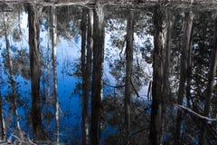 Bluegums sur le bleu Photos stock
