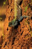 Blueheaded Tree Agama royalty free stock images