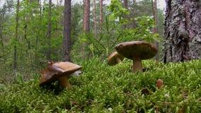Blueing bolete mushroom picking stock video footage