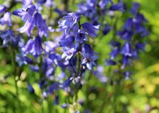 Blueish bell flowers bloom in late spring Royalty Free Stock Images