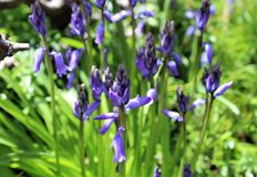 Blueish bell flowers bloom in late spring Royalty Free Stock Photo