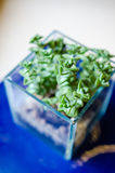 Blueish decorative Crassula plant in a glass pot Stock Image