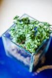 Blueish dekoracyjna grubosz roślina w szklanym garnku Obraz Stock