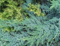 Blueish en kalk groene pijnboomtextuur Stock Afbeelding
