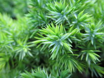 Blueish green juniper branch Royalty Free Stock Images