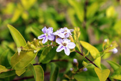 Blueish White flower. Found in hot humid regions Royalty Free Stock Photo