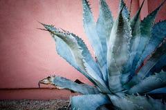 Blueish zieleni agawy roślina z długimi cierniami wzdłuż długości szerocy liście Zdjęcia Stock