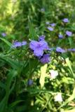 Bluejacket flower or Ohio Spiderwort. Bluejacket flower or Ohio Spiderwort on a bright sunny day royalty free stock photo