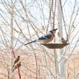 bluejay πουλιών τροφοδότης σκ&alpha Στοκ Φωτογραφίες