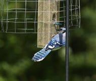 Bluejay σε έναν τροφοδότη πουλιών Στοκ Φωτογραφία